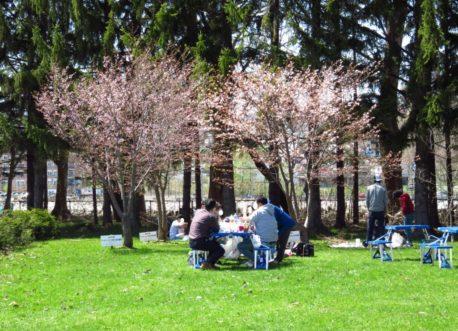 桜満開です(さけ科学館前庭))