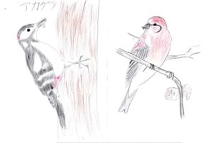 4月号表紙 アカゲラ(左)とイスカ(右) 色えんぴつ画