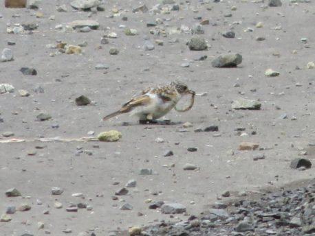 ノビタキ (幼鳥)