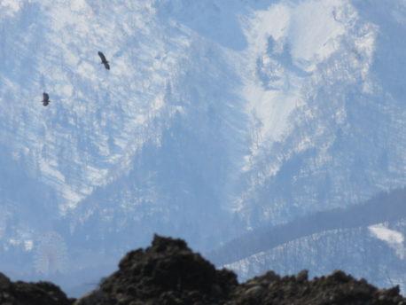 オジロワシ2羽が手稲山を従えて飛ぶ