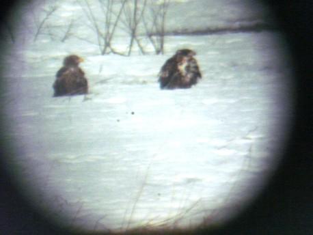 望遠鏡でオジロワシ2羽確認