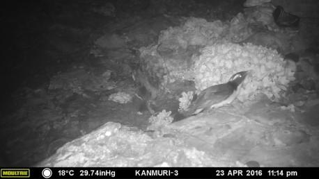 繁殖地の島に上陸したカンムリウミスズメ(センサーカメラ(赤外線)で撮影)2016.4.23 午後11時14分