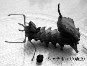 シャチホコガ(幼虫)