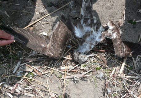 浜辺には、新しいオオミズナギドリの死体が打ち上げられていました