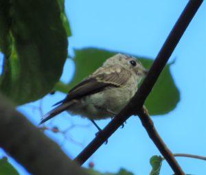 コサメビタキ(今年生まれの幼鳥)