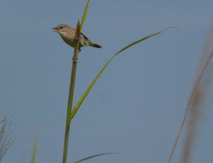 幼鳥の母鳥が来ました