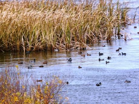 もえれ沼で休息するカモたち