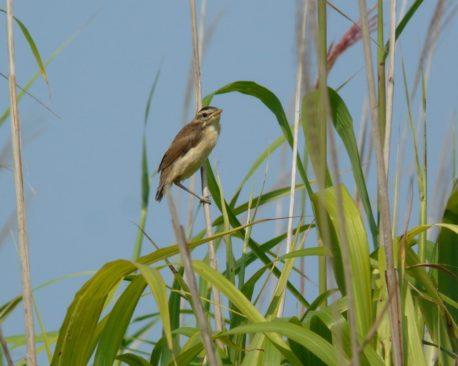 コヨシキリの幼鳥