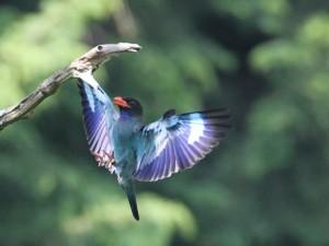 巣箱へ給餌にきた親鳥(両足輪付き)/ 撮影:秋山 登(岡山県支部会員)