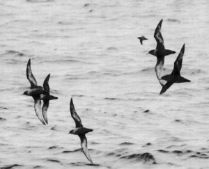 海峡を飛ぶハシボソミズナギドリ