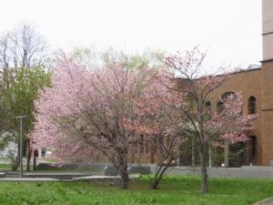 桜が満開でした(北大構内)
