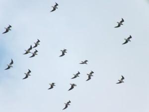 頭上をユリカモメ群れ(27羽)が通過